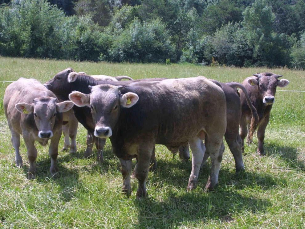Ejemplares de vacuno de carne de una explotación de la provincia de Huesca.