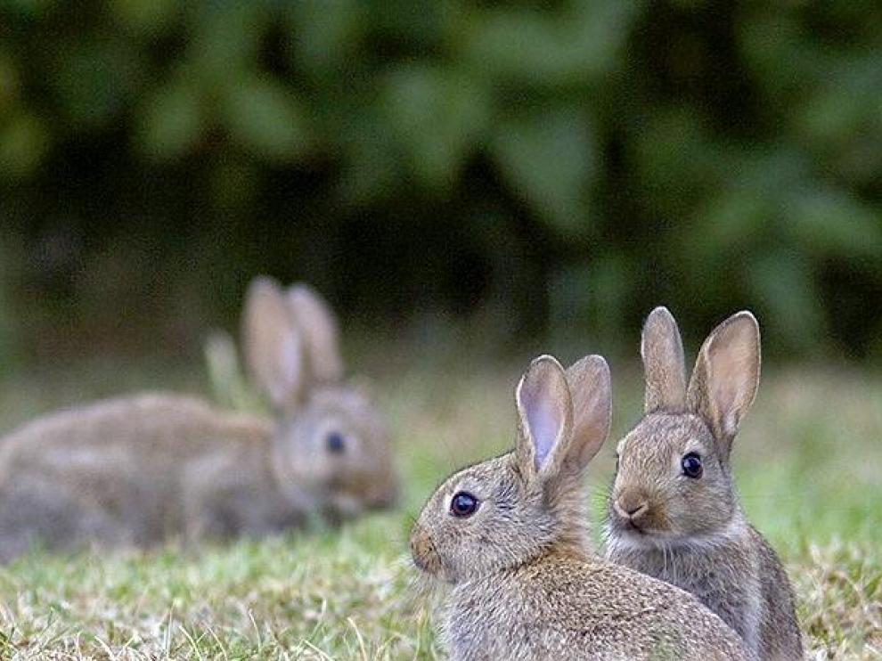 La presencia de conejos en los campos de cereal se ha convertido en una auténtica pesadilla para los agricultores aragoneses.