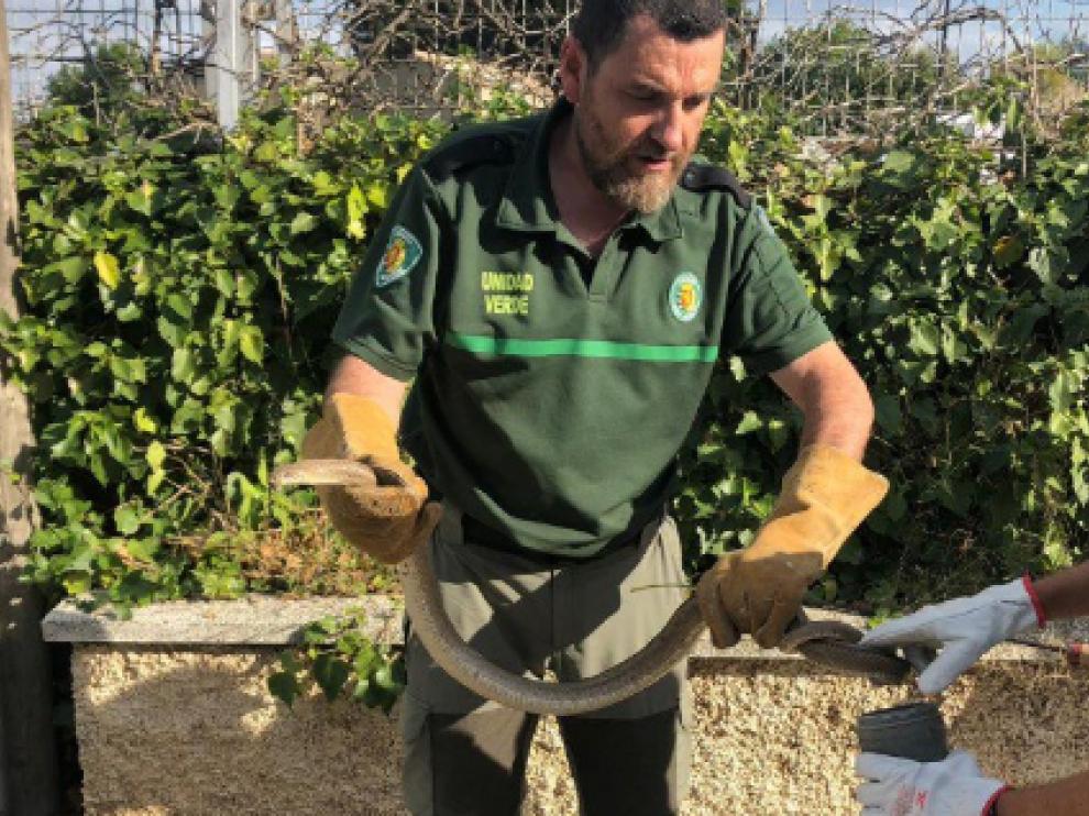 Los técnicos de la Unidad Verde retirando una culebra de escalera en Zaragoza