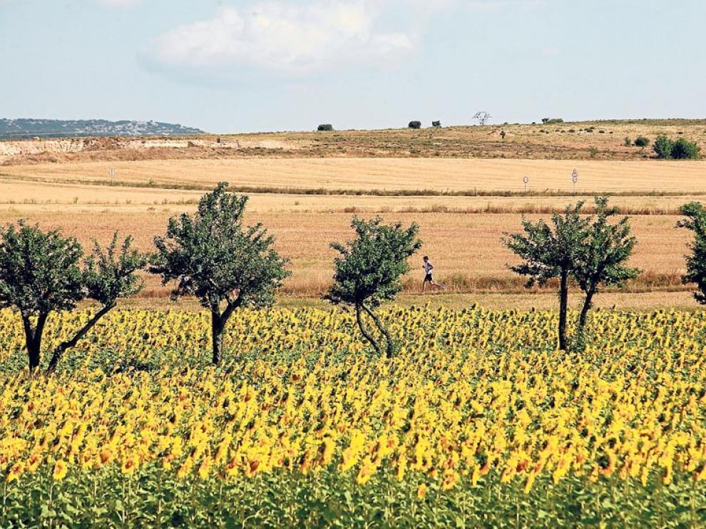 Se estima que hay 14.900 hectáreas cultivadas de girasol en Aragón