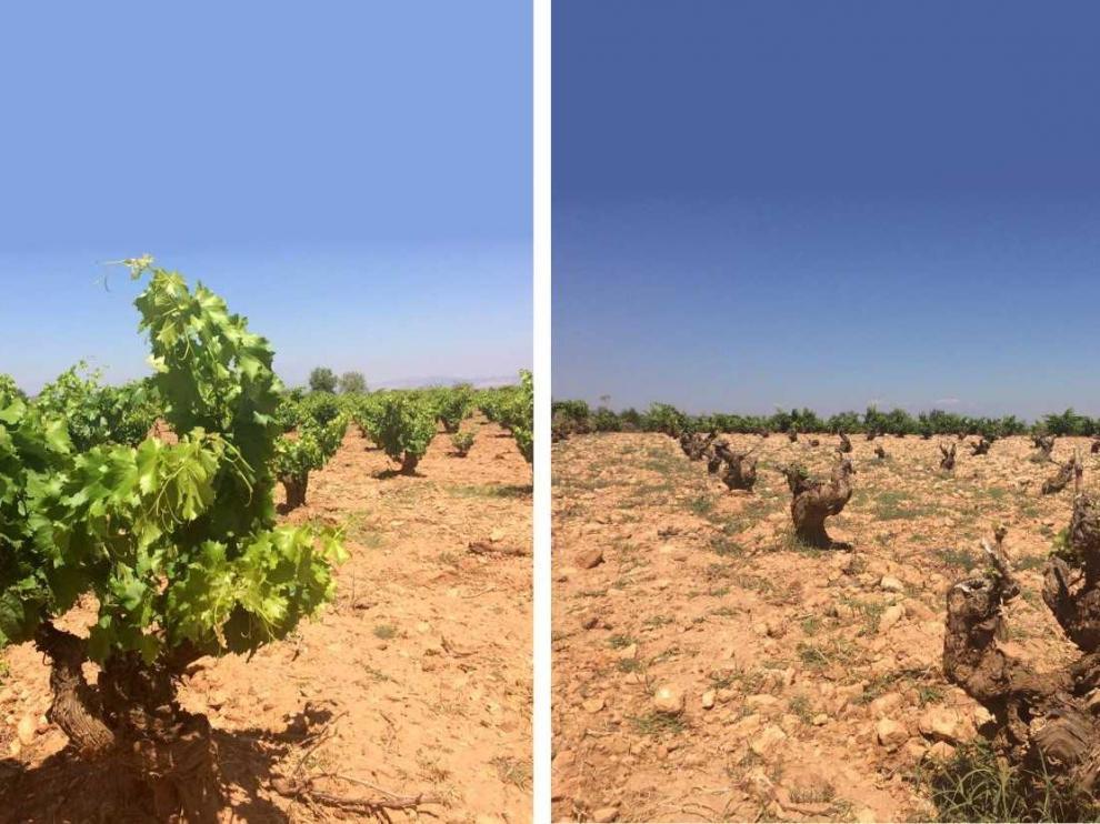 Dos hileras de vides del mismo viñedo. Las de la derecha han sufrido el paso de los conejos.
