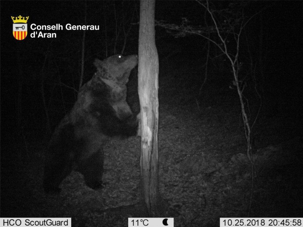 Una fotografía del oso Goiat tomada en Cataluña.