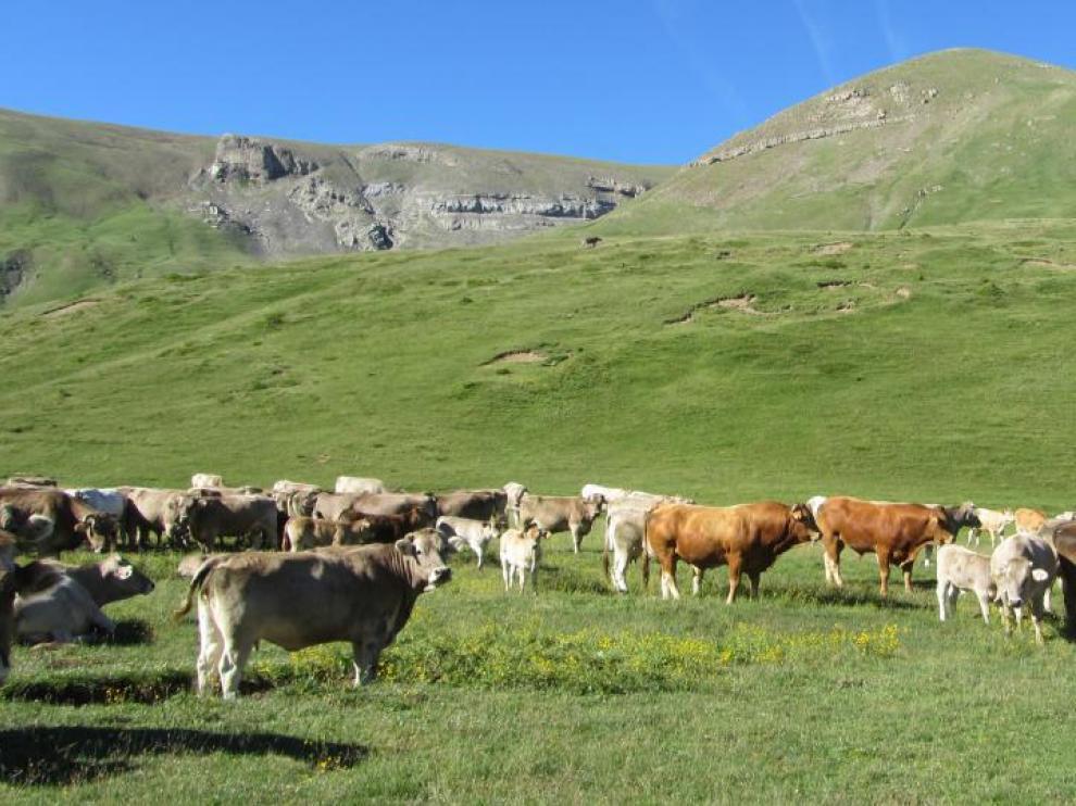 En la imagen, ejemplares de vacas nodrizas en la comarca de La Jacetania.