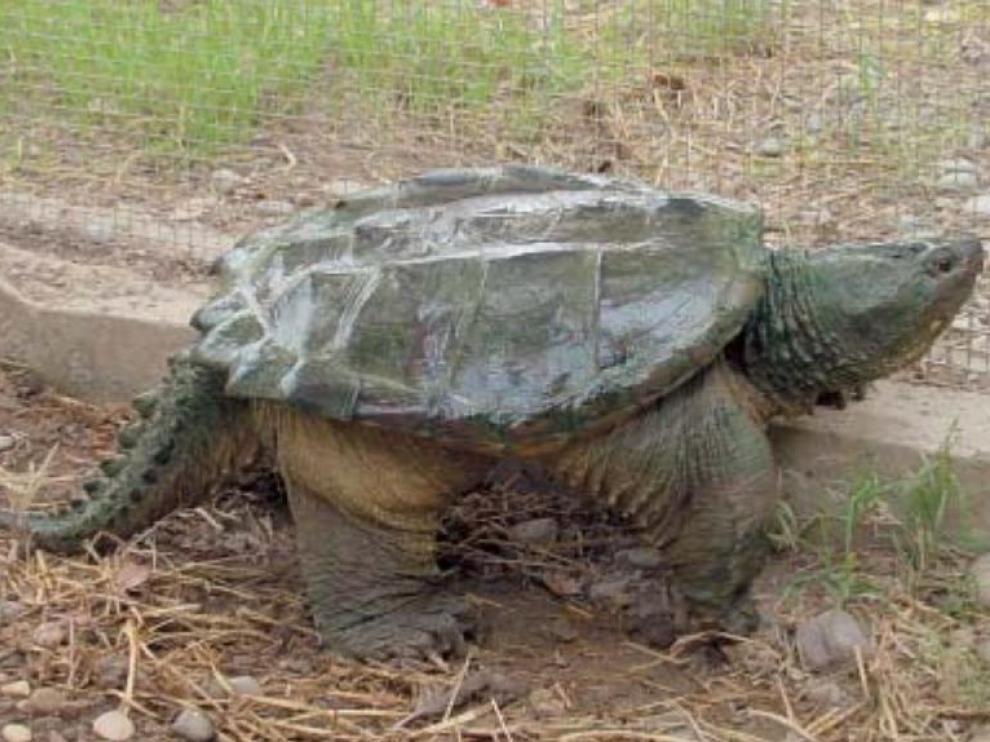Ejemplar de tortuga mordedora que apareció en el año 2003 en el entorno del Ebro a la altura de Gelsa.