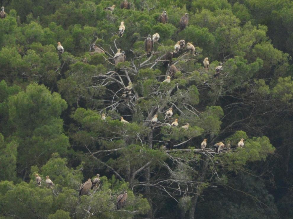 Imagen del dormidero de alimoches, una especie catalogada como vulnerable tanto en Aragón como a nivel nacional.