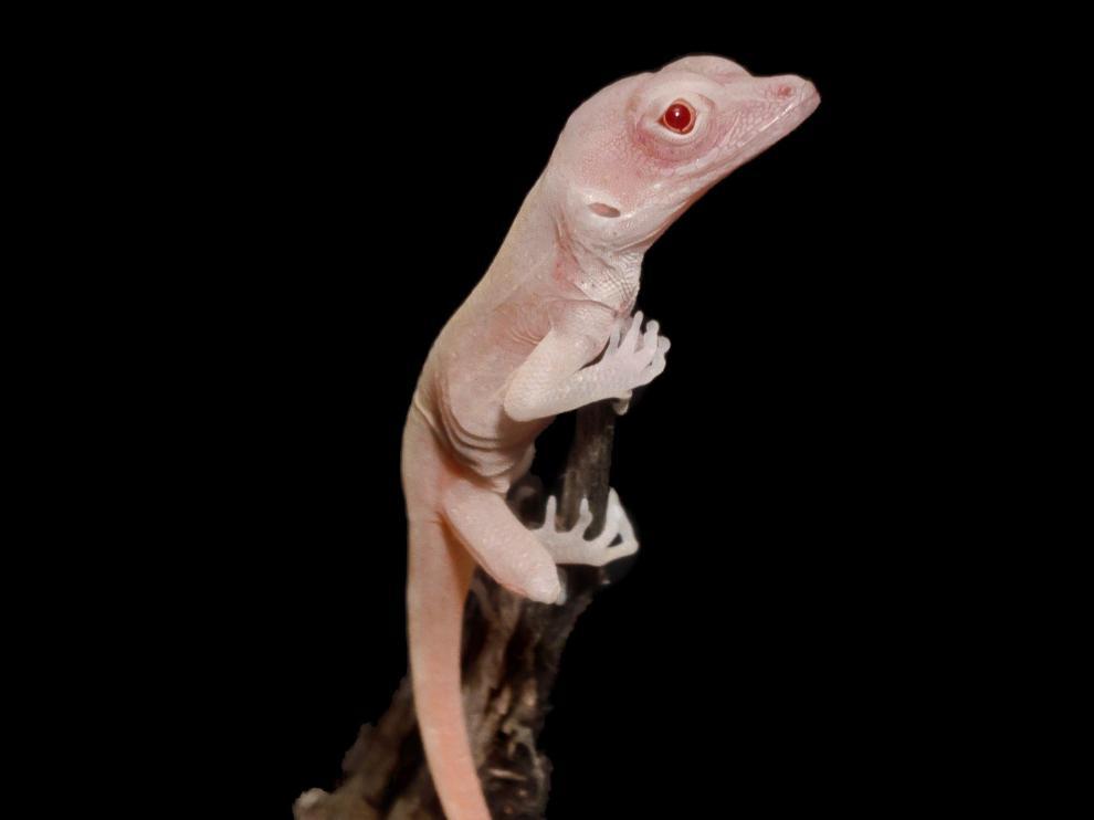 La manipulación genética obtiene lagartijas albinas.