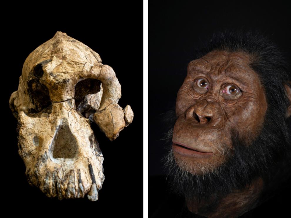 Cráneo encontrado y recreación del homínido al que perteneció