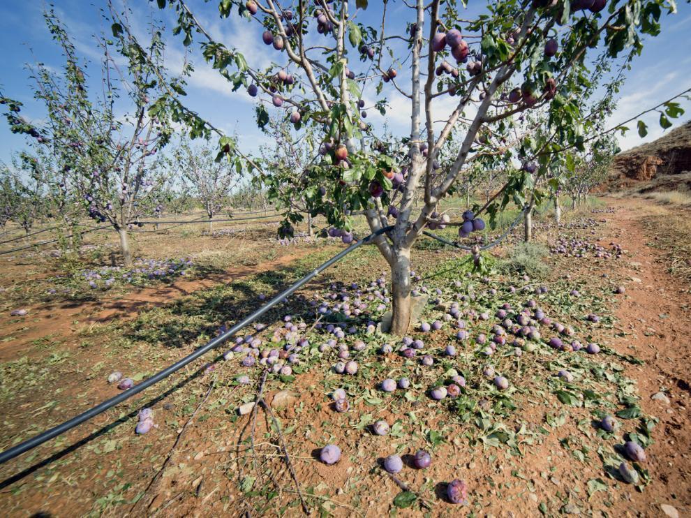 Solo en la localidad del Manubles se han visto afectadas cerca de 1.200 hectáreas de frutal. J.Macipe