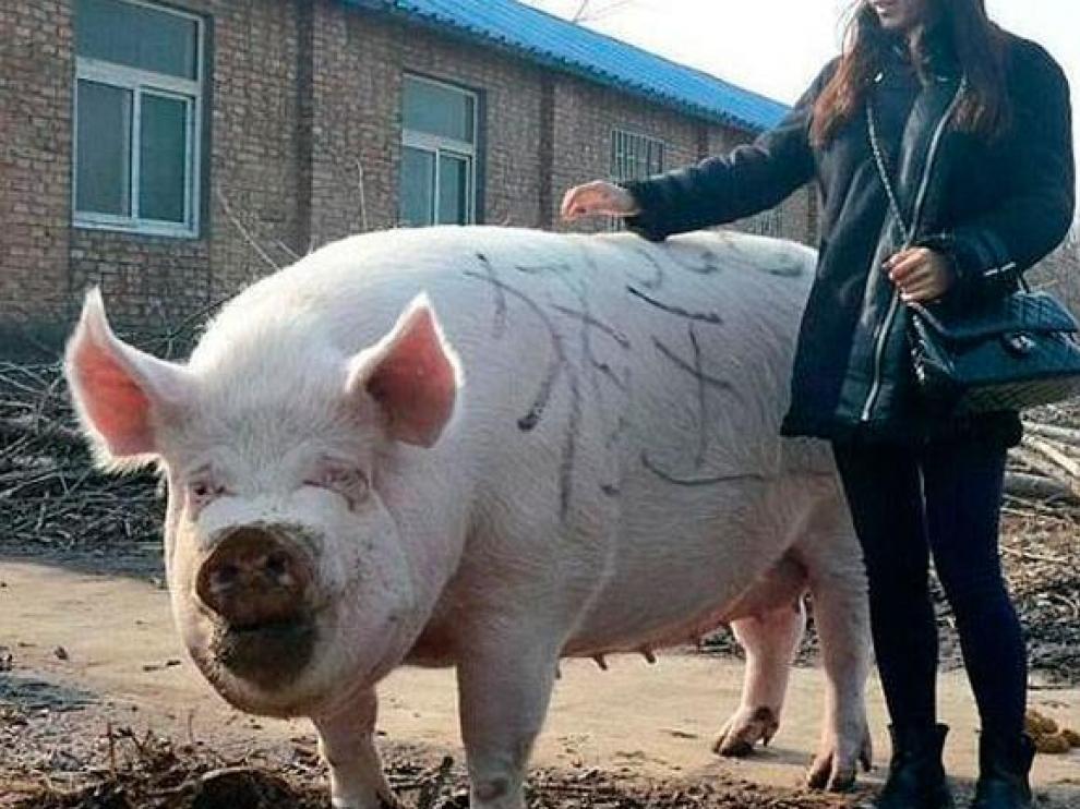 Un ejemplar de cerdo chino gigante.
