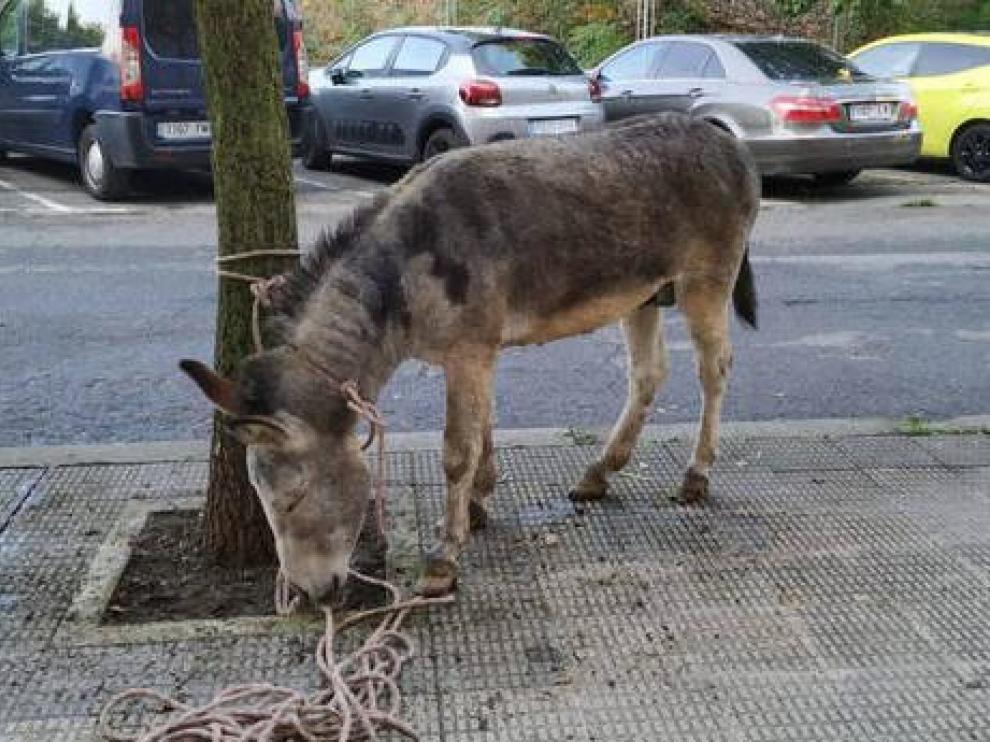 Los agentes han atado al burro a un árbol para evitar que causara problemas.