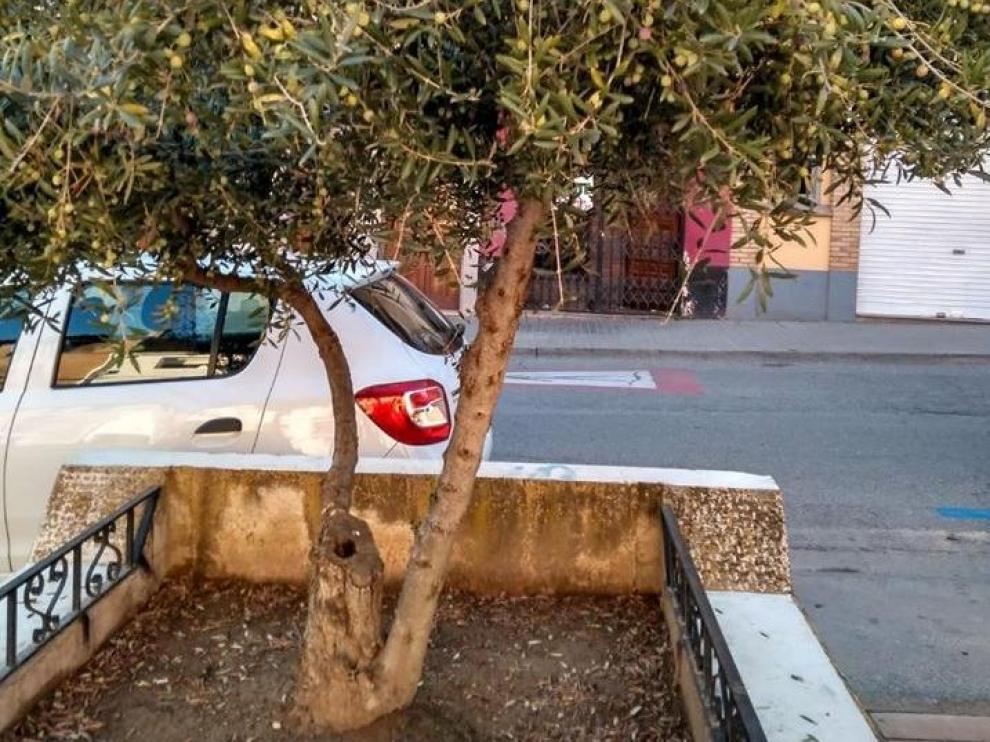Uno de los 50 olivos que hay repartidos por las calles de Binéfar.