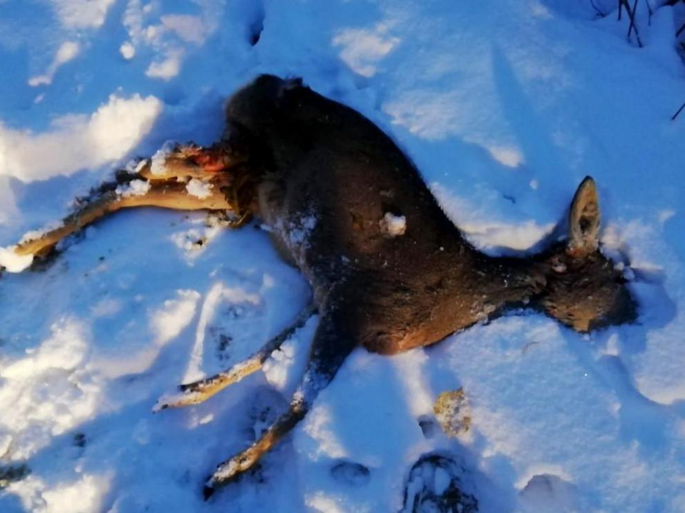 El cadáver del corzo en un camino, por el que lo arrastró el animal que lo atacó.