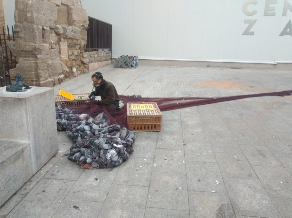 Un empleado de la empresa encargada de la captura de palomas, en un servicio junto al Mercado Centralel pasado 15 de noviembre.