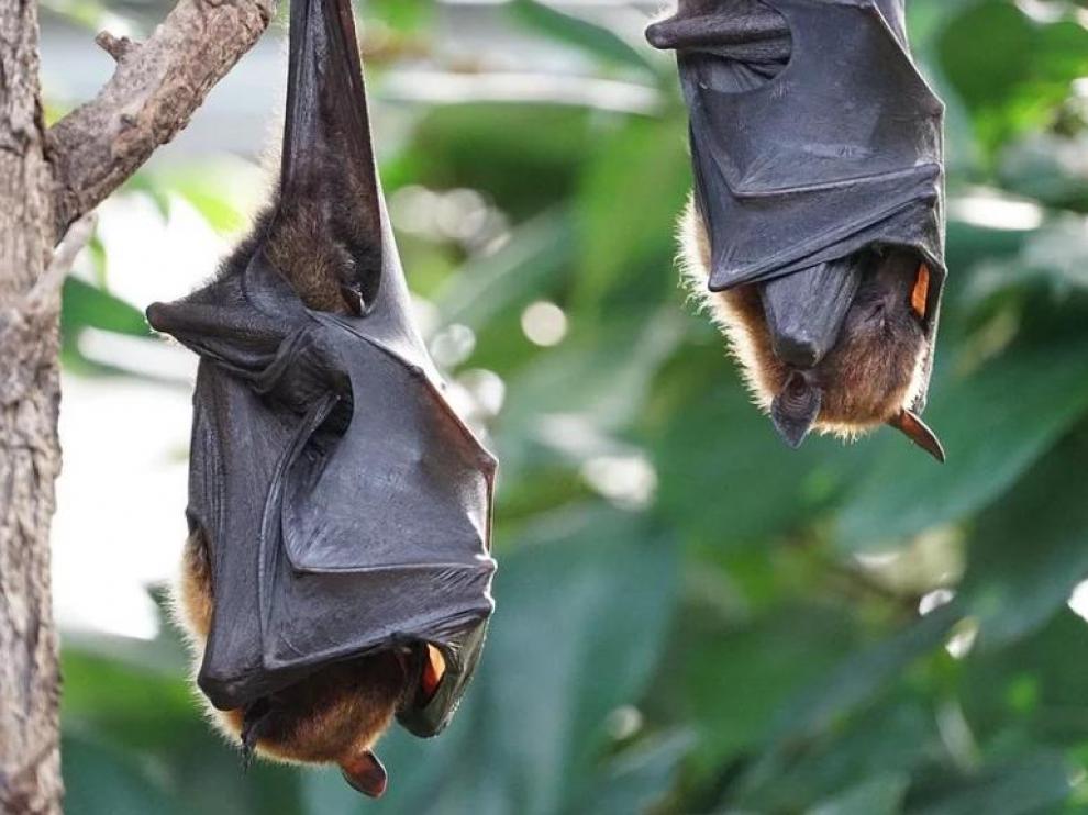 Dos murciélagos colgados de un árbol