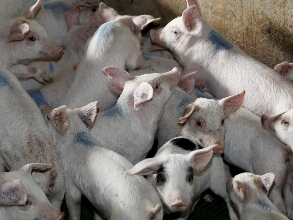 Granja de cerdos en Orrios que ha realizado obras para adecuarla a la directiva de bienestar animal. Foto Antonio Garcia/Bykofoto. 06-11-13