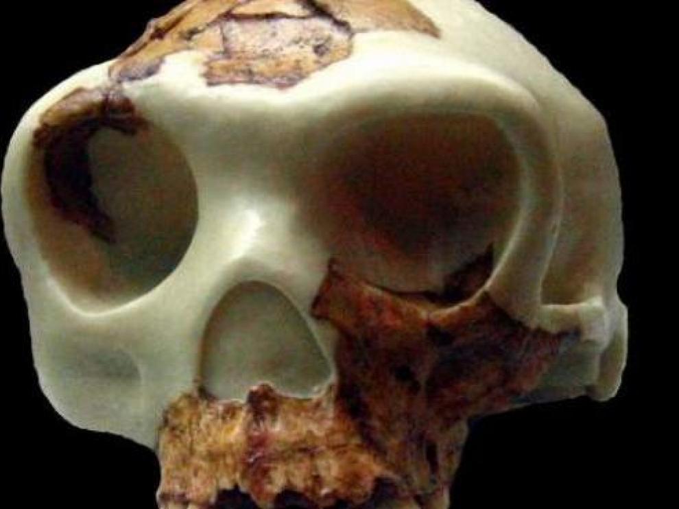 Cráneo de un homo antecesor.