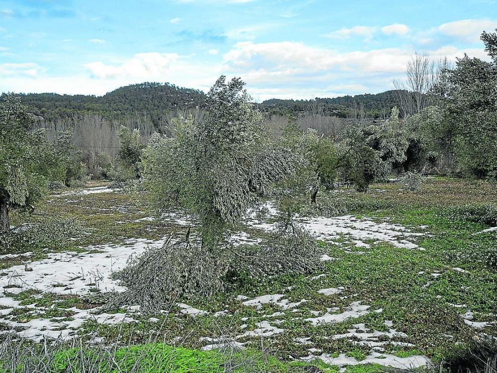 Olivos tronchados por la nieve en una finca de Valderrobres