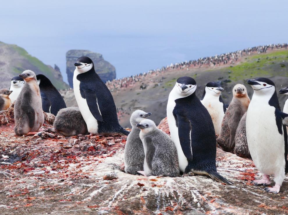 En esta campaña se han apadrinado 40.000 pingüinos.