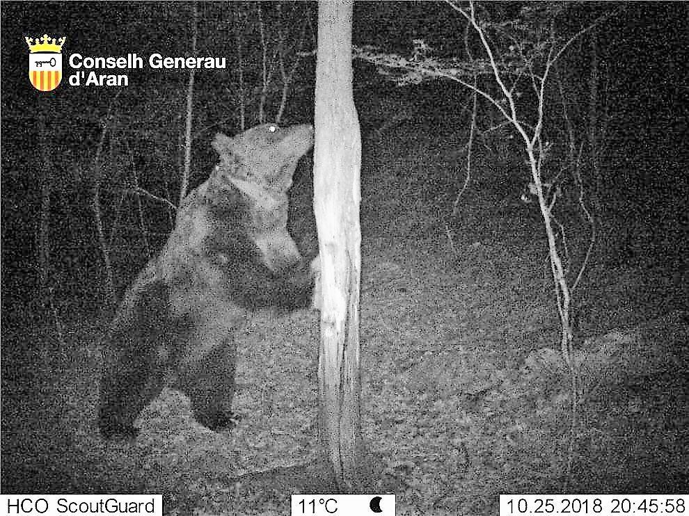 Fotografía del oso Goiat tomada en Cataluña.