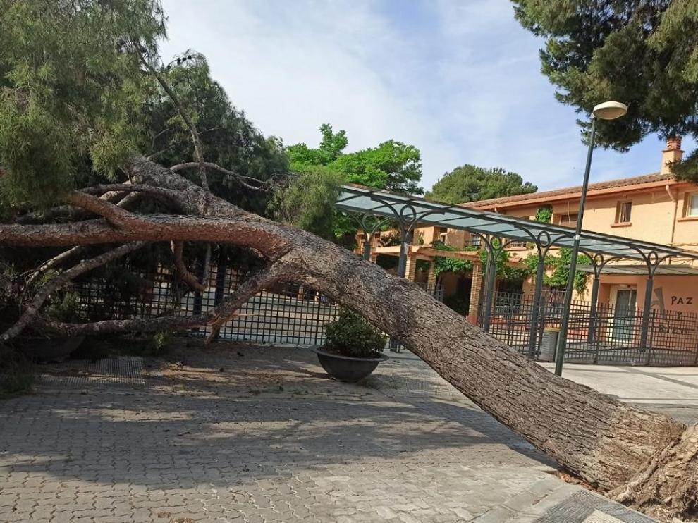 Este árbol cayó la pasada semana junto a la residencia de San Eugenio, en La Paz.