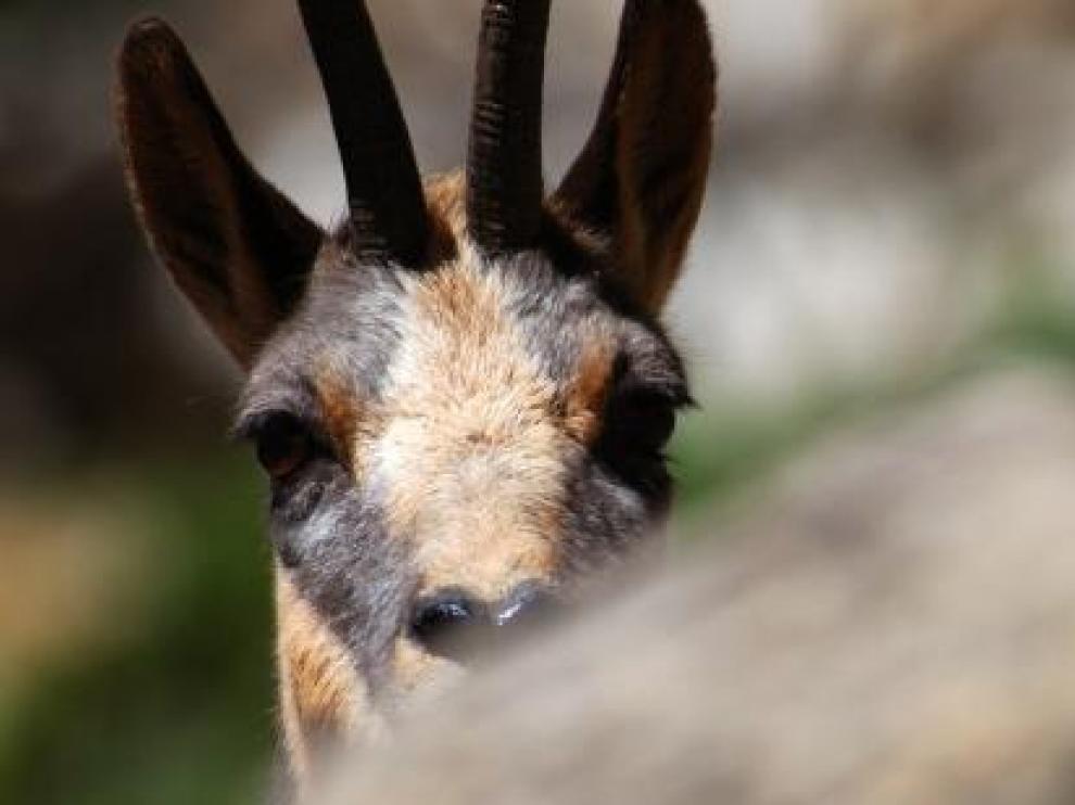 El sarrio es una de las especies que habita en los Pirineos