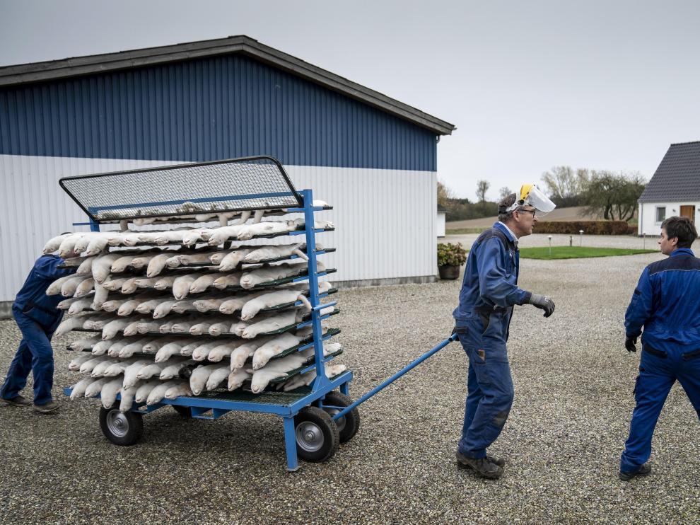 Visones son transportados en una granja danesa de Naestved para ser sacrificados, el pasado 8 de noviembre.