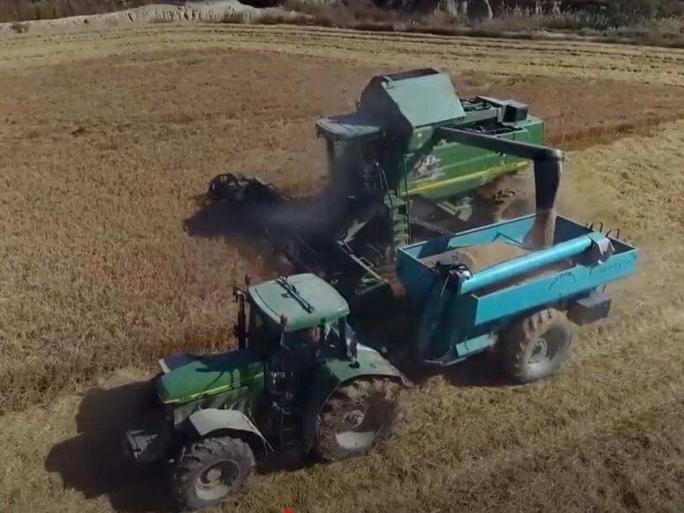 Un momento de la recolección de la cosecha de arroz en una explotación de la Comunidad aragonesa.