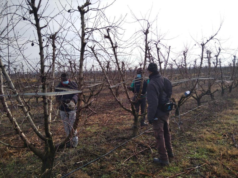 Temporeros realizando labores de poda esta semana en una finca de Almudáfar, en la comarca del Bajo Cinca.