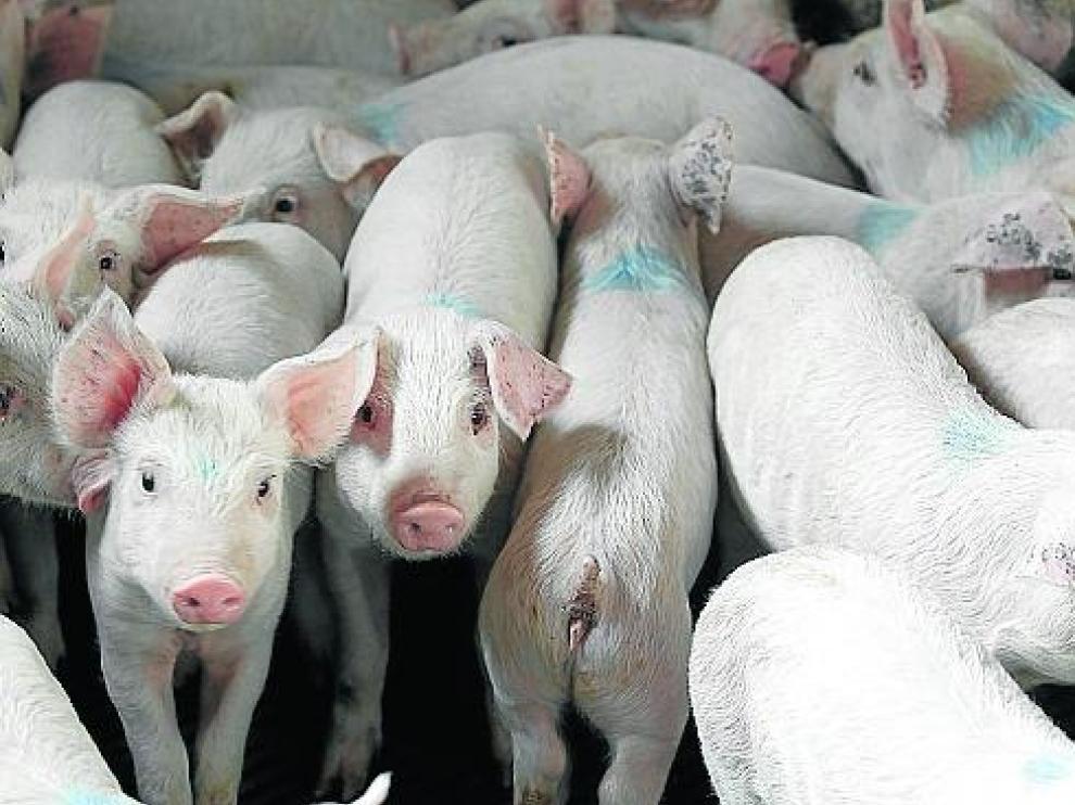 Granja de cerdos en Orrios que ha realizado obras para adecuarla a la directiva de bienestar animal. Foto Antonio Garcia/Bykofoto. 06-11-13[[[HA ARCHIVO]]]