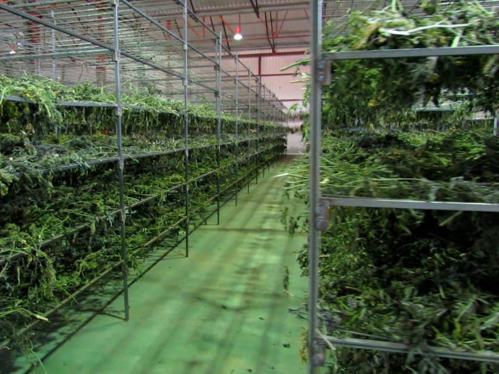 Se han aprehendido cerca de 50.000 plantas de marihuana, de las que se extrajeron casi dos toneladas y media de cogollos