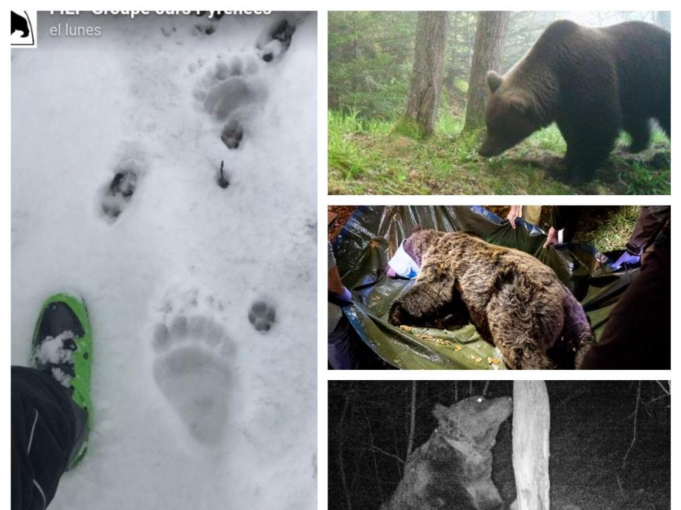 Algunos de los osos que están o han merodeado por Aragón: huellas de Rodri, Canelito, traslado de Sorita (reintroducida en Francia en 2018) y Goiat (soltado en Cataluña en 2016).