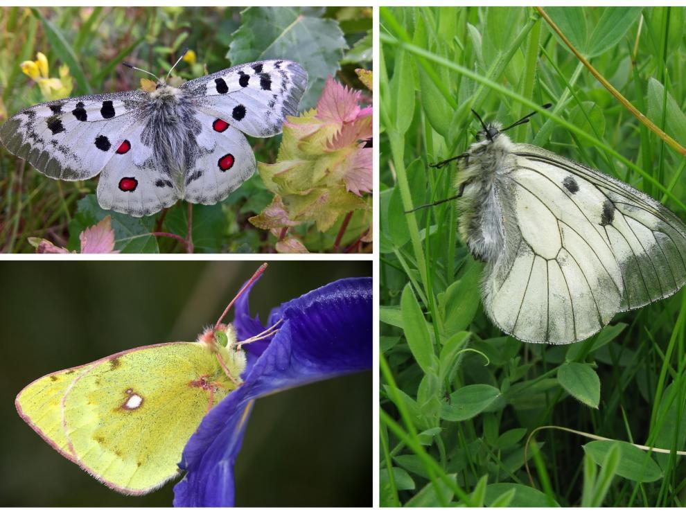Arriba a la izquierda, parnassius apollo. Debajo, colias phicomone. Y a la derecha, parnassius mnemosyne. Las tres especies de mariposas que se van a estudiar en el Pirineo.