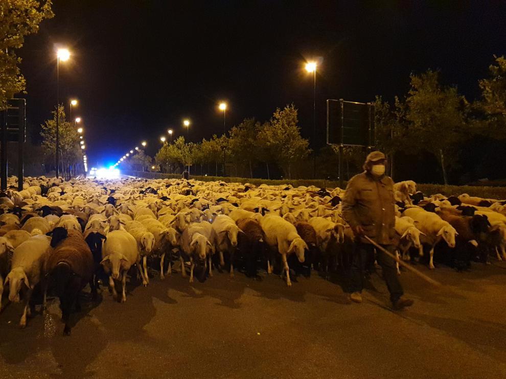 Darío Clemente, al frente del rebaño de ovejas, a su paso por el puente de Manuel Giménez Abad de Zaragoza.