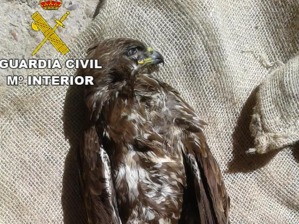 Una imagen del águila ratonera que hallaron muerto los agentes en un domicilio de Teruel.