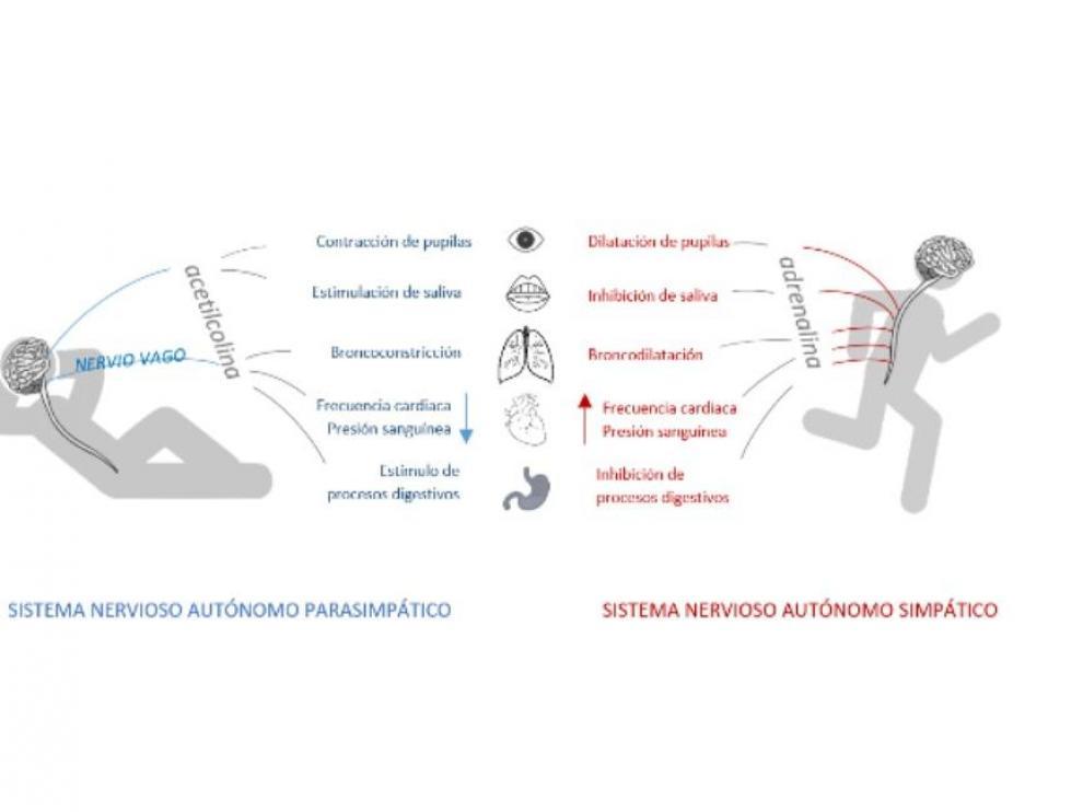 Algunas de las funciones del sistema nervioso autónomo