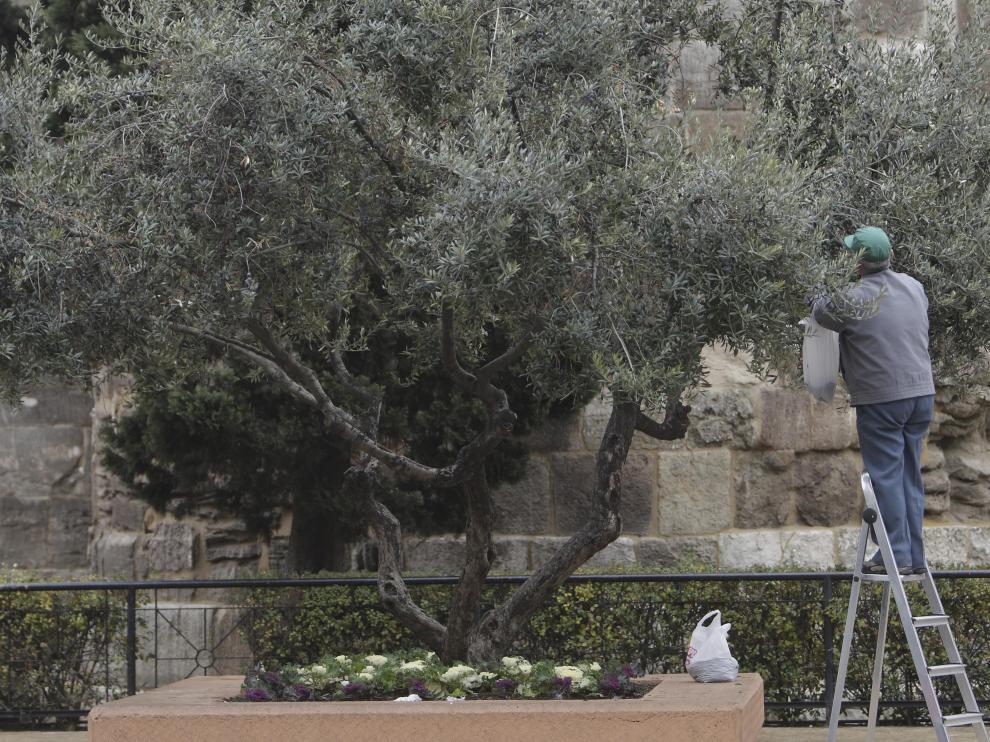 Un hombre recoge olivas junto a las Murallas Romanas.