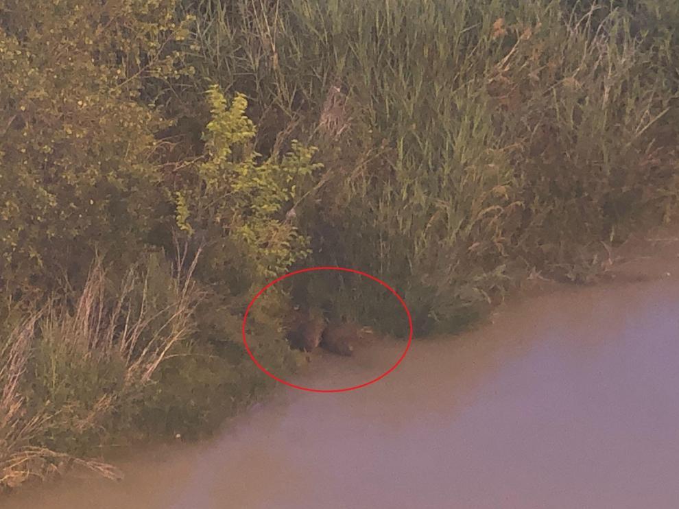 Una pareja de castores vista este lunes por la noche en el río Ebro, debajo del puente de Hierro de Zaragoza.