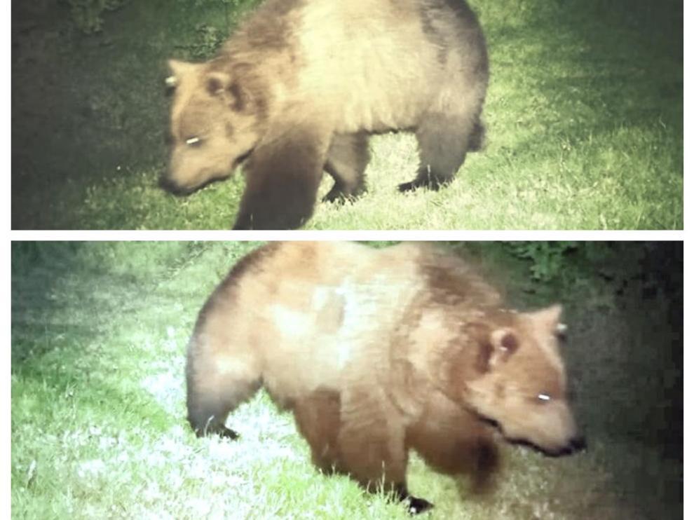 Dos imágenes de Claverina captadas por las cámaras de fototrampeo. La de arriba es de mayo y la de abajo de finales de junio, en las que se aprecia el aumento de peso.