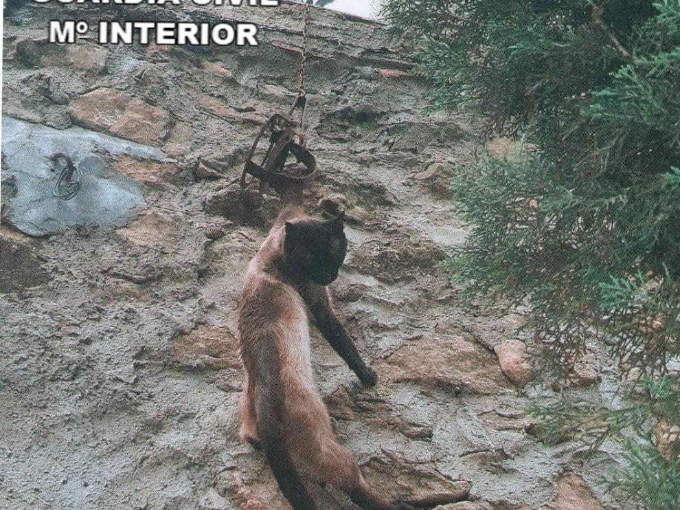 El gato doméstico atrapado en el cepo quedó suspendido de la reja de una vivienda.