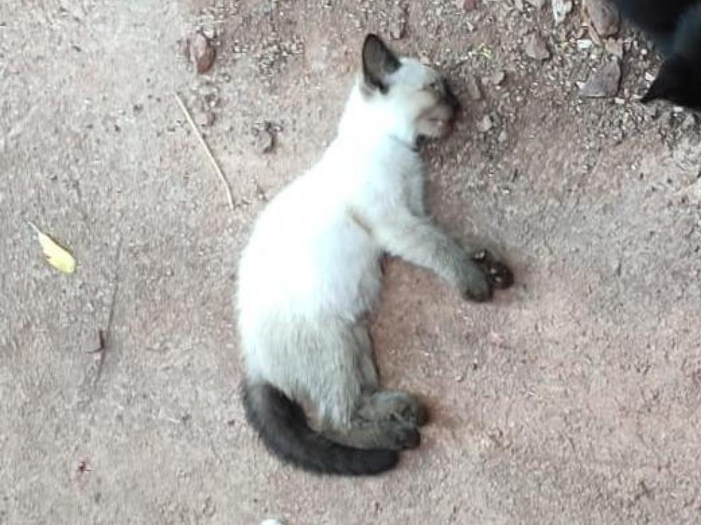 Gato que supuestamente fue asesinado en Brea de Aragón.
