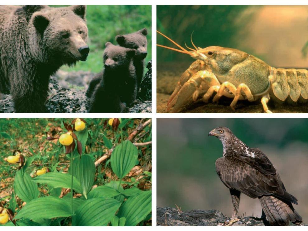 El oso pardo, el cangrejo de río, la zapatita de dama o el águila perdicera se encuentran en peligro de extinción.