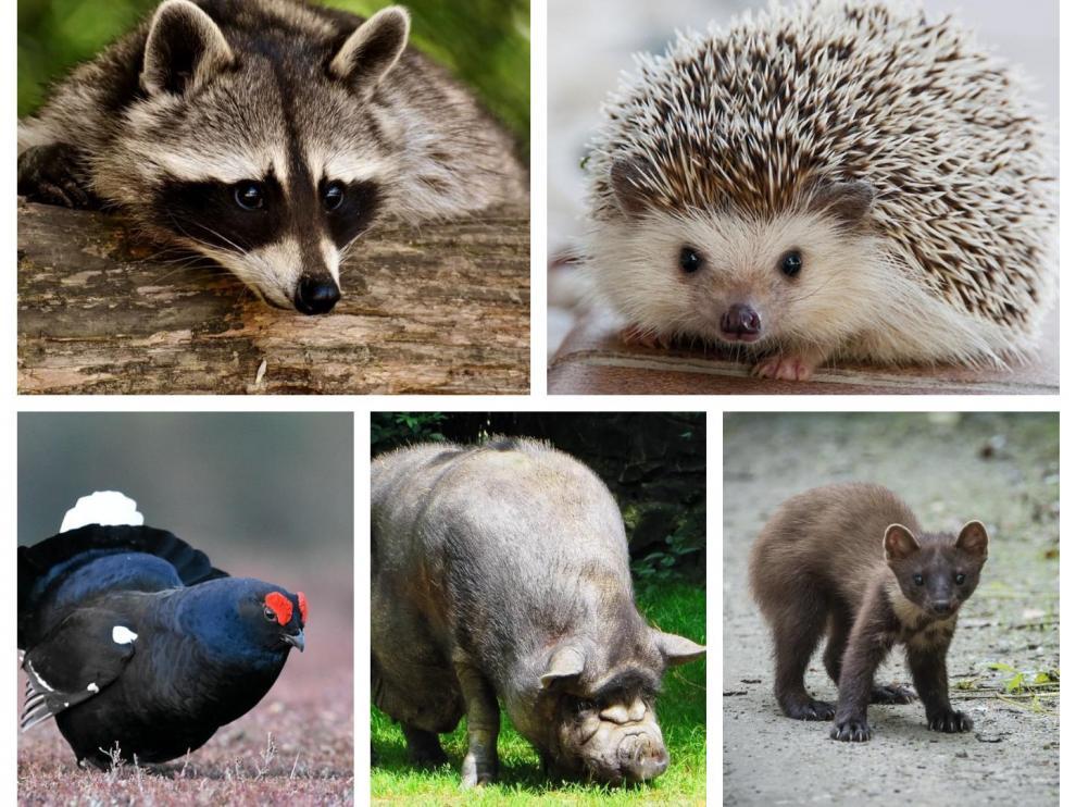 Fotos de archivo de un mapache, un erizo, un urogallo, un cerdo vietnamita y una marta
