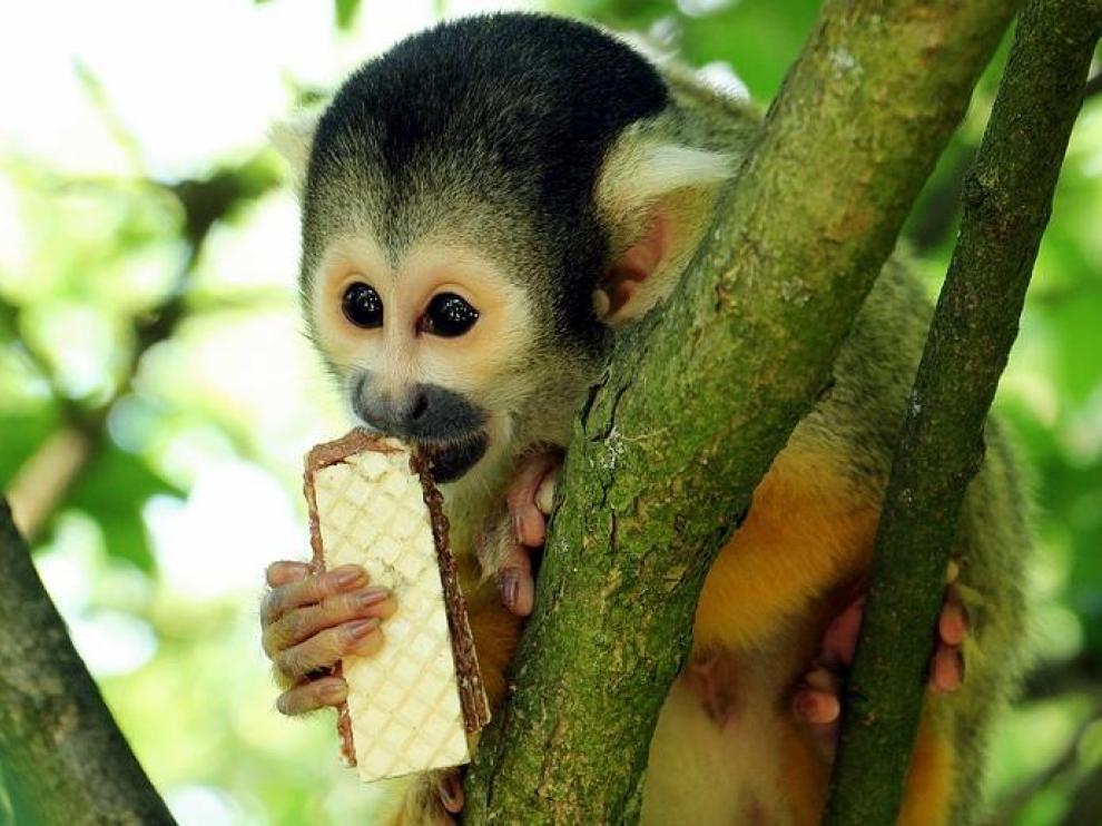 Un primate, en la actualidad.