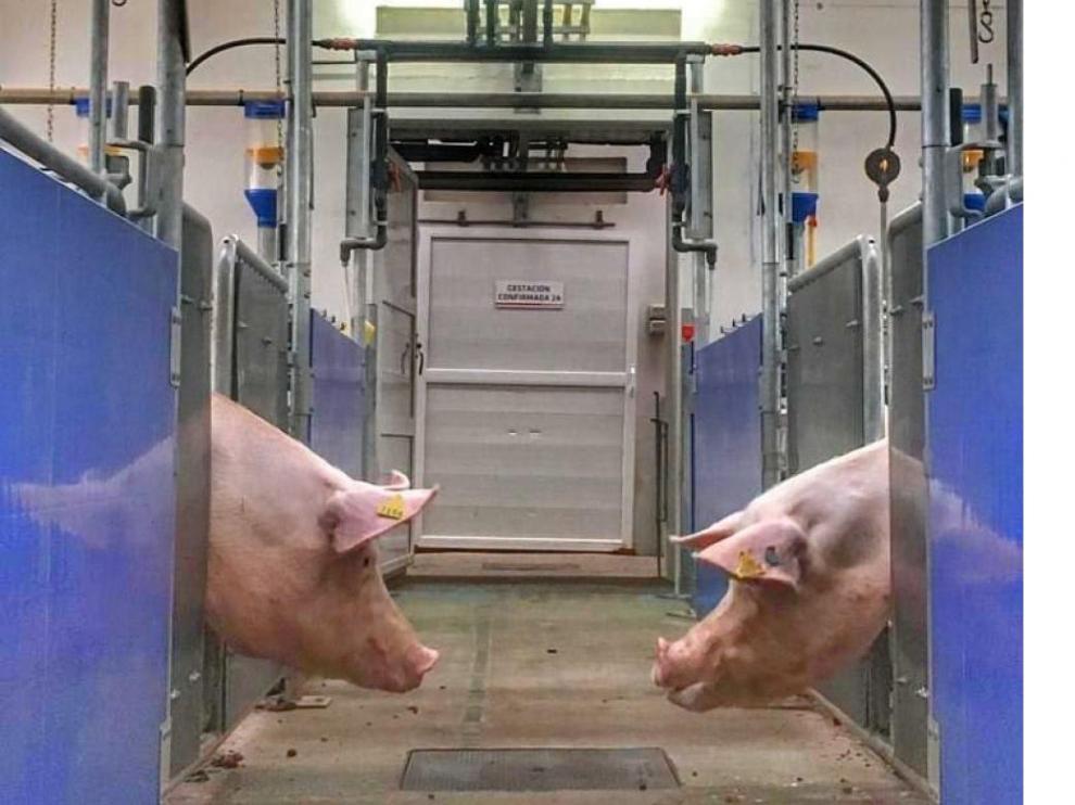 La detección de brucelosis en los animales obliga a su sacrificio, ya que puede transmitirse al humano.