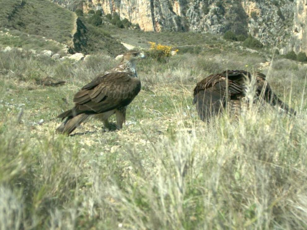 Dos ejemplares de águila perdicera en un paraje de la localidad de Obón.
