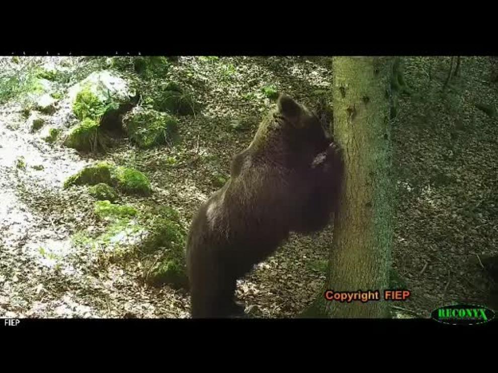 El oso Cannellito, en el Pirineo aragonés