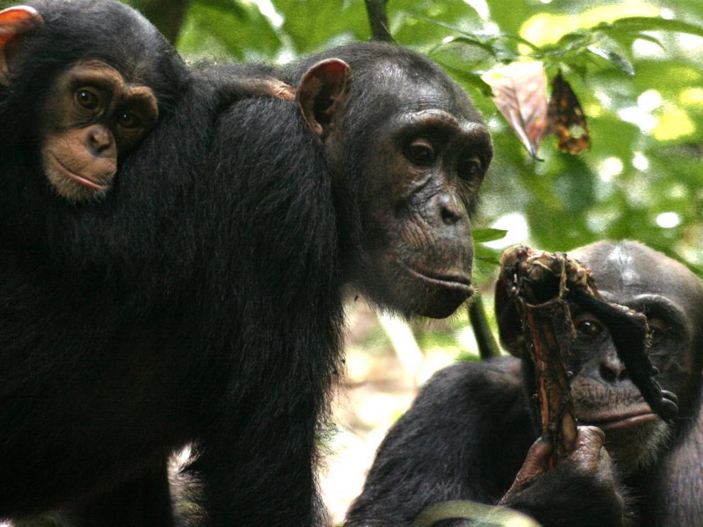Imagen de dos chimpancés