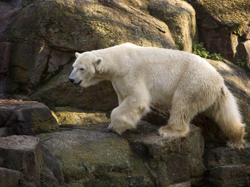 Uno de los osos del zoo berlinés