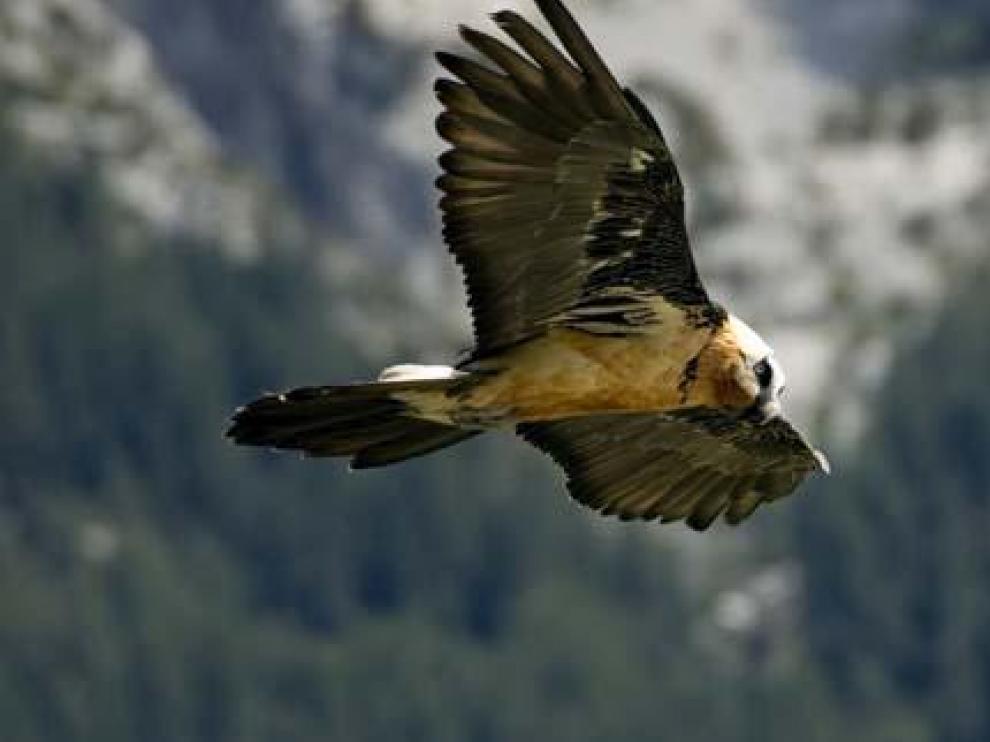 Una veintena de nuevos quebrantahuesos vuelan sobre España en 2009