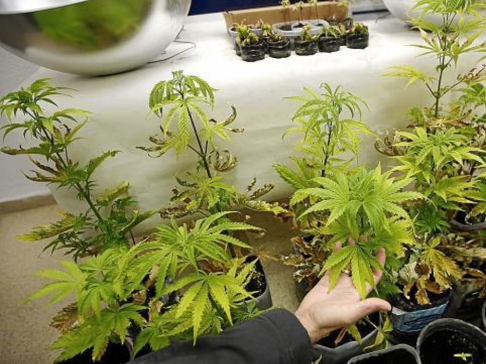 En California, los mayores de 21 años podrán cultivar hasta seis plantas de marihuana para uso recreativo.
